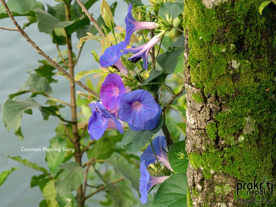 Common Morning Glory_Ipomoea purpurea
