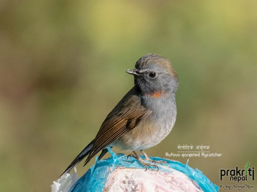 Rufous-gorgeted-flycatcher