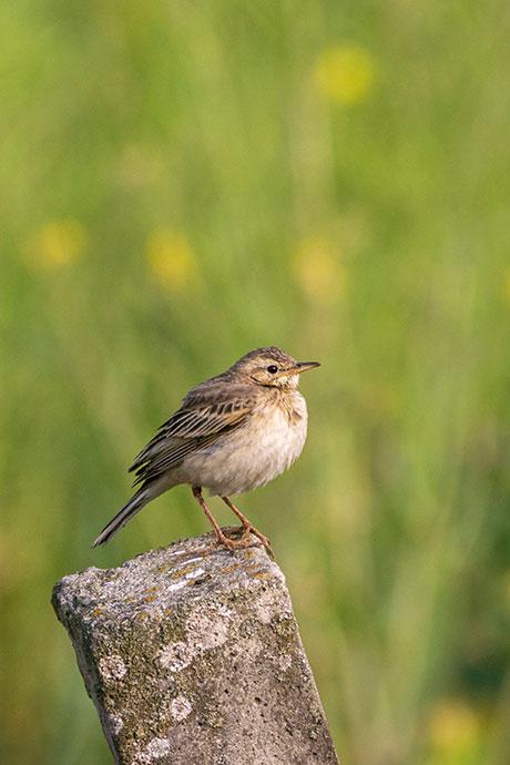 bird-Bungamati