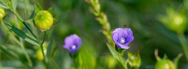 wild-flower-bungamati