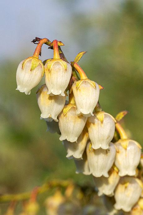 Angari flowers in Phaplu