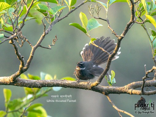 White-throated-Fantail