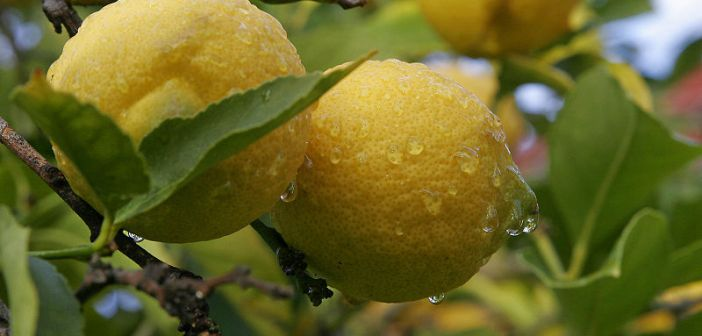 λεμονιά