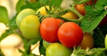 καλλιέργια ντομάτας στο μπαλκόνι