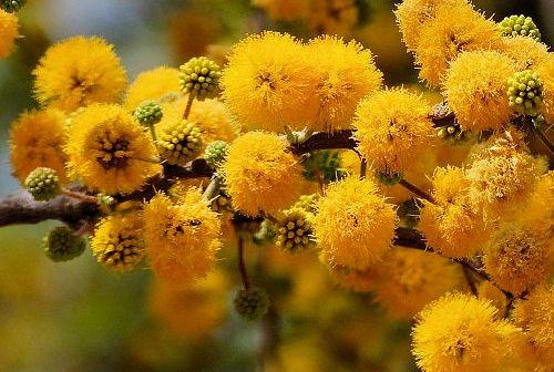 Γαζία: το άρωμά της πλημμυρίζει τον κήπο μας