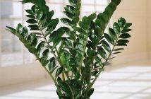 Ζάμια φυτο