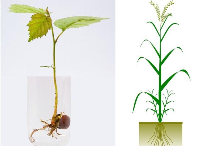akar serabut tunggang, perbedaan Tumbuhan monokotil dan dikotil pada akar