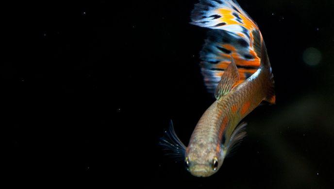 ikan hias aquarium, ikan hias air tawar terindah