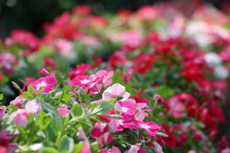 bunga vinca, macam macam bunga vinca, Tanaman hias gantung, bunga vinca,cara merawat bunga vinca, bunga vinca adalah