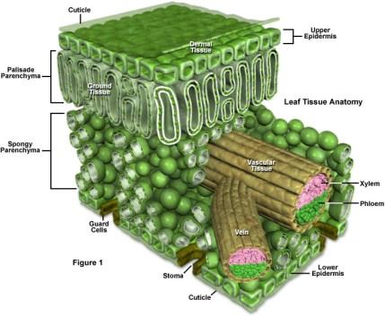 struktur daun dan fungsinya