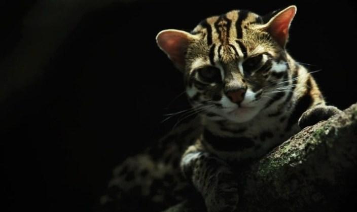 kucing hutan jawa, kucing hutan, kucing hutan langka