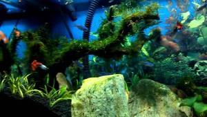 ikan guppy aquascape