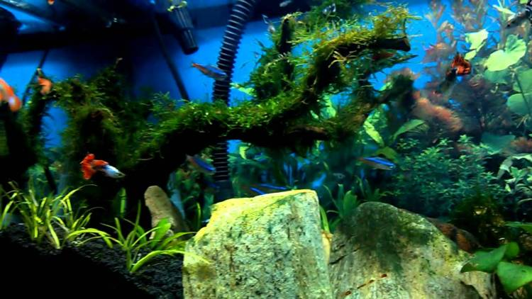 ikan guppy aquascape