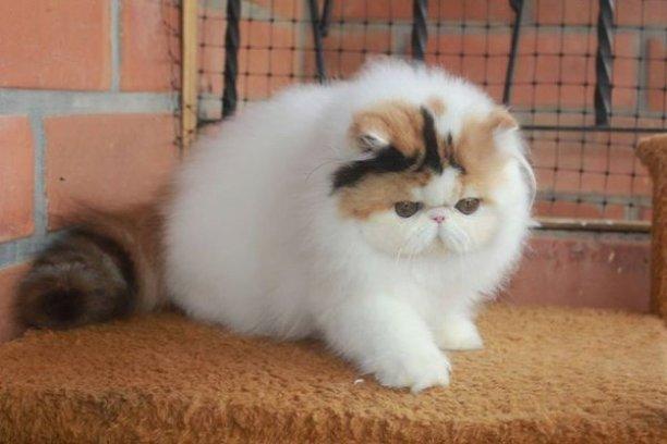 kucing persia longhair