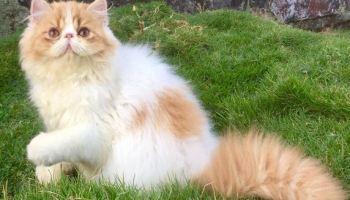 7 Kucing Hutan Langka Termasuk Kucing Hutan Jawa Prasstyle Com