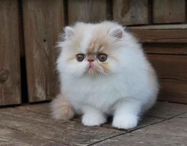 47 Gambar Binatang Kucing Anggora Terbaru