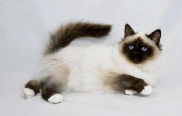 kucing persia himalaya