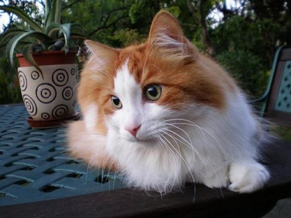 Gambara kucing anggora