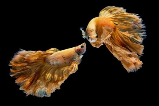 ikan cupang gold