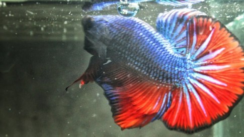ikan cupang terindah