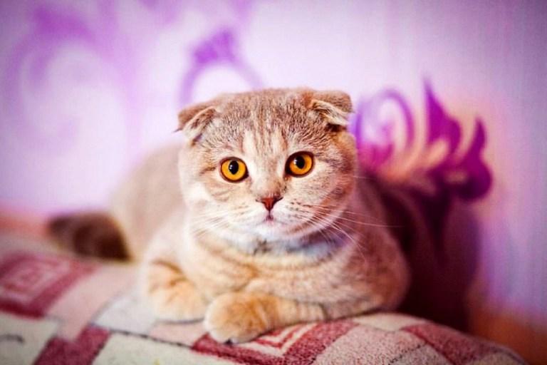 Harga Kucing Scottish Fold lucu