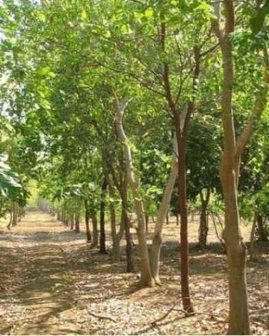 kayu cendana flora indonesia