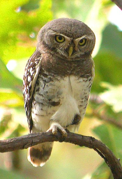 Forest Owlet  (Heteroglaux blewitti) (1/2)