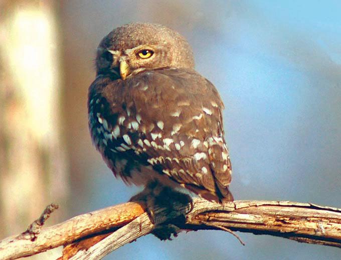 Forest Owlet  (Heteroglaux blewitti) (2/2)