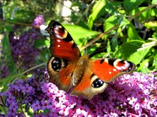 Peacock butterfly (Inachis io) (1/2)