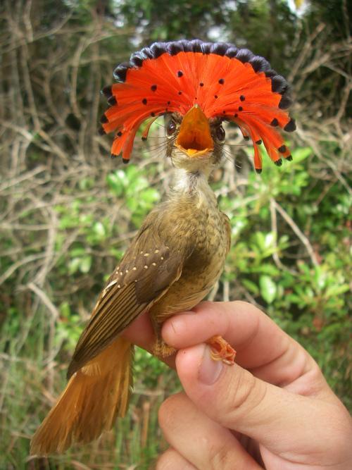 The Northern Royal Flycatcher (Onychorhynchus coronatus mexicanus)  (2/2)