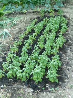 a cushiony bed of basil for pesto and tomatoes