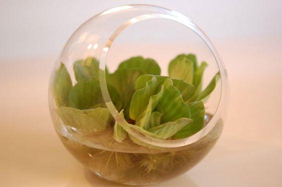 lettuce Office Desk water Plants