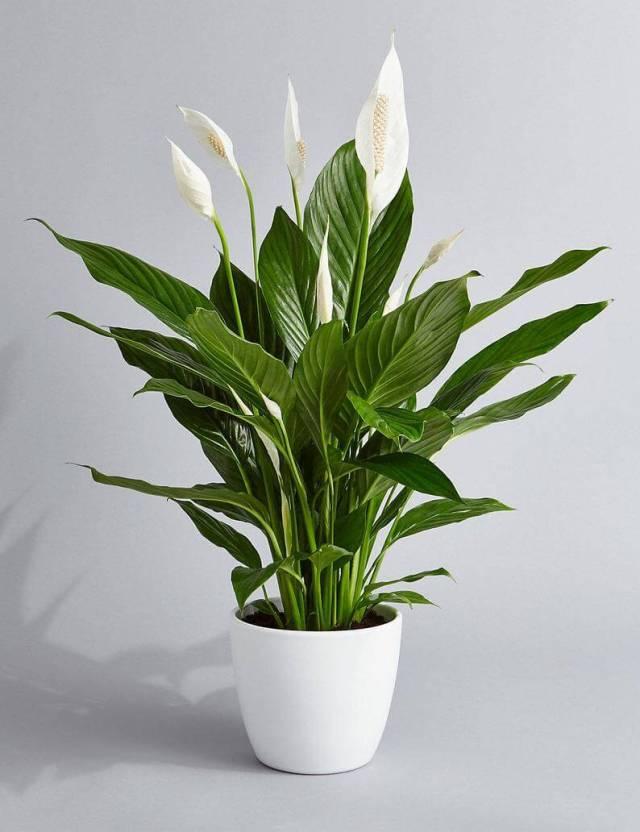 peace lily Office Desk flower Plants