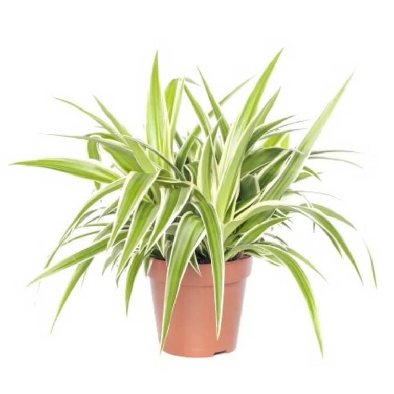 Spider Desk Plants