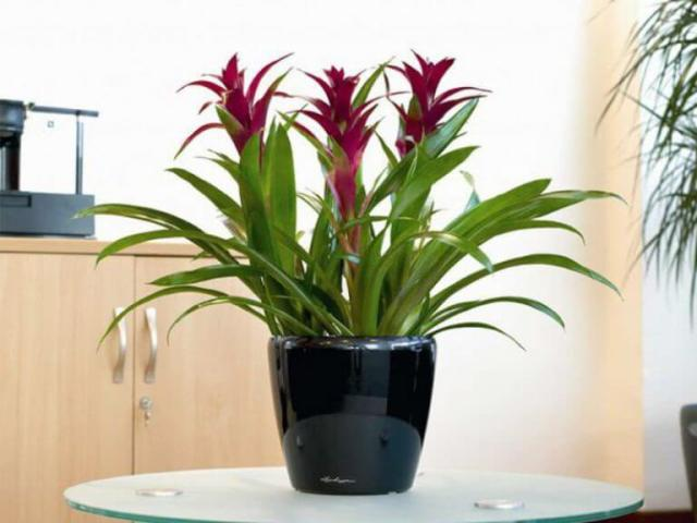 Bromeliads Office Desk flower Plants