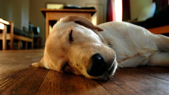 canada, caninos, cannabis, drogas, Estados Unidos, marihuana, marihuana en perros, mascotas, perro, perros