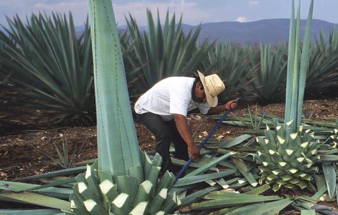 mezcal , origen del mezcal, mezcal en la prehistoria, mezcal 100% artesanal, agave, el mezcal del agave