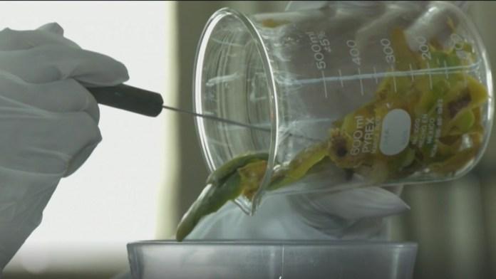 popotes, popotes hechos con cascara de mango y baba de nopal, popotes biodegradables