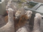 Our camelid cargo nervously awaits