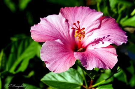 pink hibiscus with bee