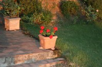 Gerani al tramonto ~ geraniums at sunset
