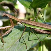 Chinese Praying Mantis – Biology, Diet, Distribution, Lifespan, Growth, Cannibalism, and its Predatory Behavior