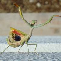 Female Praying Mantis – Size, Weight, Description, Cannibalism