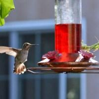 Praying Mantis Eating Hummingbird – Do Praying Mantis Eat Hummingbirds?