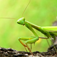 Are Praying Mantis Endangered? - Mantis Conservation Status