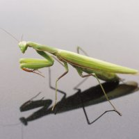 How Many Legs Does a Praying Mantis have? – Praying Mantis Legs