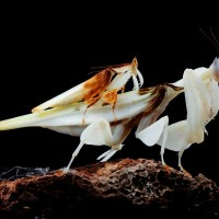 Orchid Mantis – Facts and Complete Information about Orchid Praying Mantis