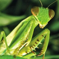 Praying Mantis Eyes – How Many Eyes does a Praying Mantis have?