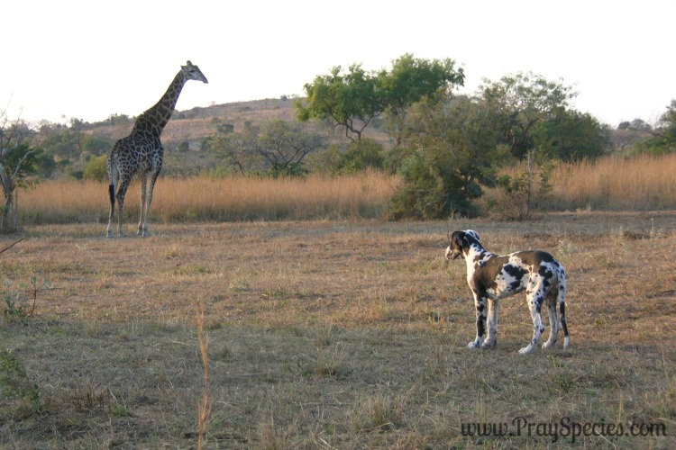 I never thought of someone having both a Great Dane and a Giraffe on their property before staying in South Africa.