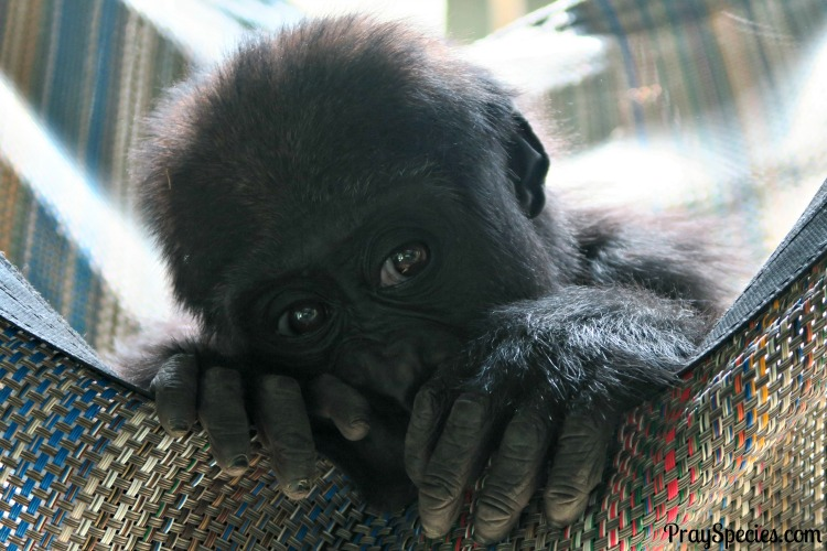 baby-gorilla-at-the-knoxville-zoo